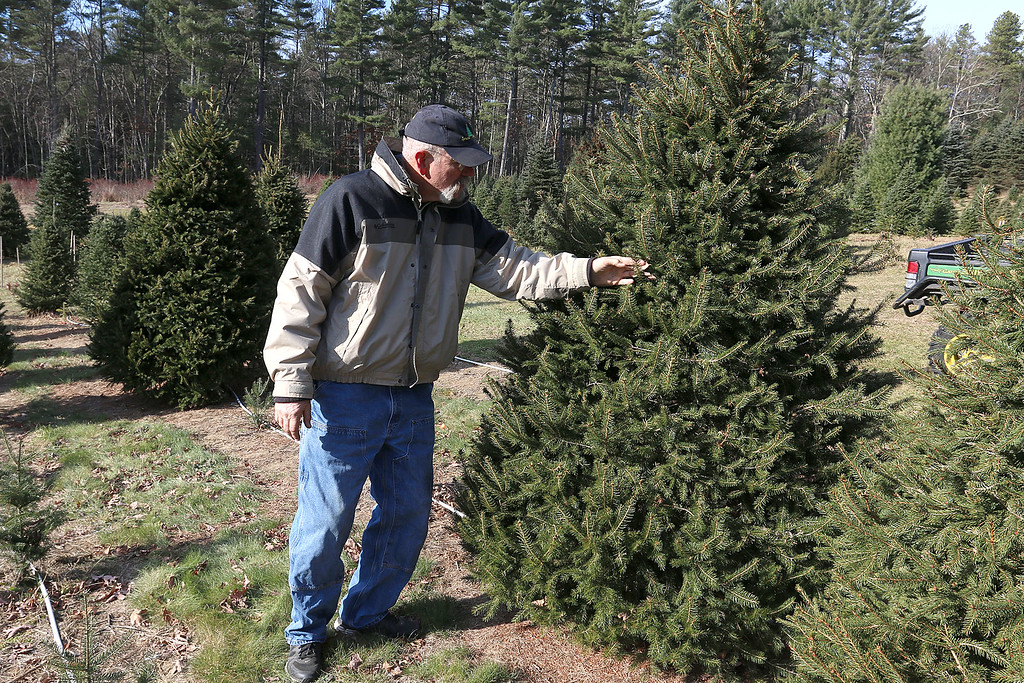 . John Hussey\'s Christmas tree farm in Townsend sells the Fraser Christmas Tree. Hussey talks about the tree at his farm on Tuesday morning. SUN/JOHN LOVE