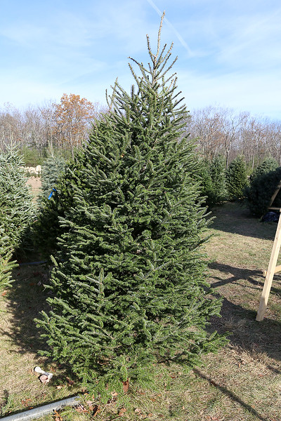 John Hussey's Christmas tree farm in Townsend sells the popular balsam Christmas tree. SUN/JOHN LOVE
