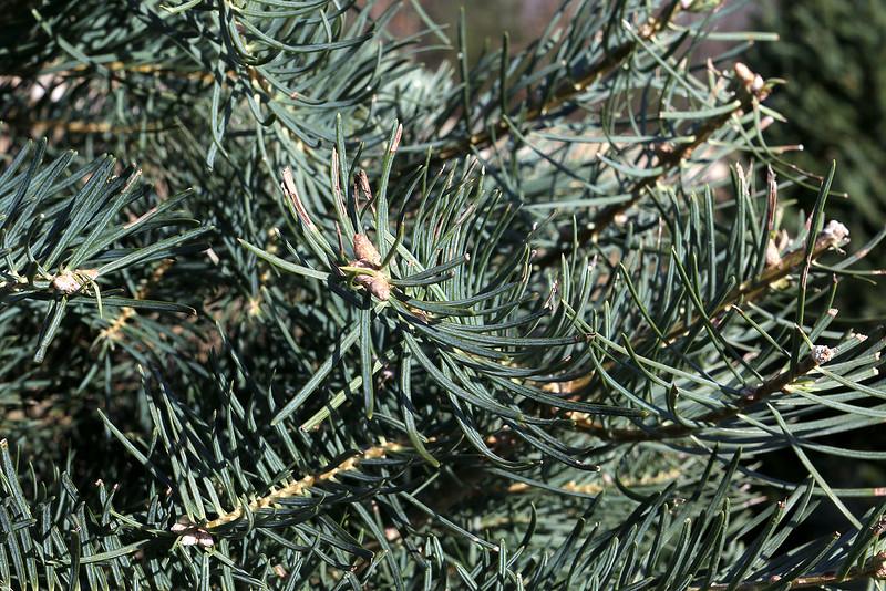 John Hussey's Christmas tree farm in Townsend sells the concolor fir Christmas tree. SUN/JOHN LOVE