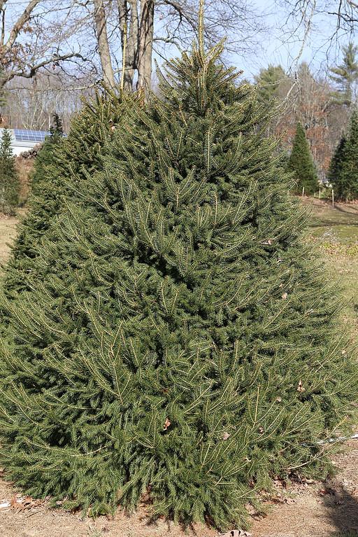 . John Hussey\'s Christmas tree farm in Townsend sells the Norway spruce Christmas tree. SUN/JOHN LOVE