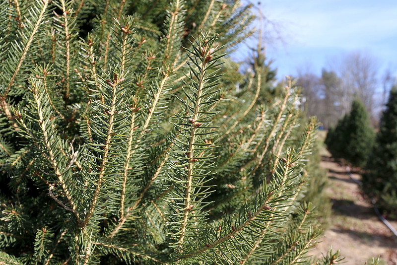 John Hussey's Christmas tree farm in Townsend sells the Norway spruce Christmas tree. SUN/JOHN LOVE