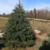 John Hussey's Christmas tree farm in Townsend sells the concolor fir Christmas tree. SUN/JOHN LOVE