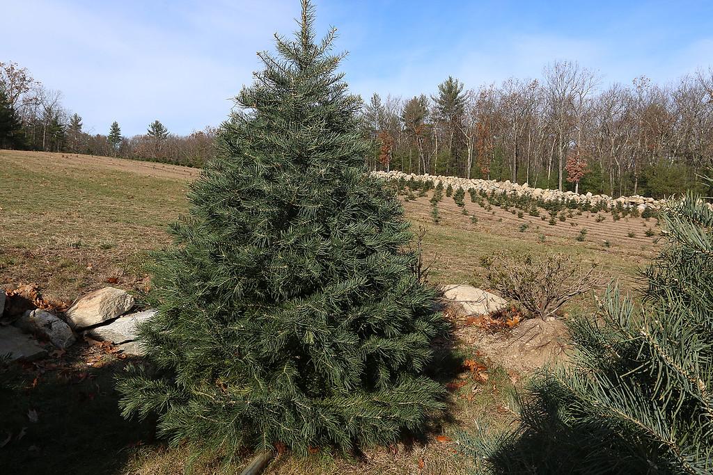 . John Hussey\'s Christmas tree farm in Townsend sells the concolor fir Christmas tree. SUN/JOHN LOVE