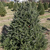 John Hussey's Christmas tree farm in Townsend sells the Fraser Christmas tree. SUN/JOHN LOVE