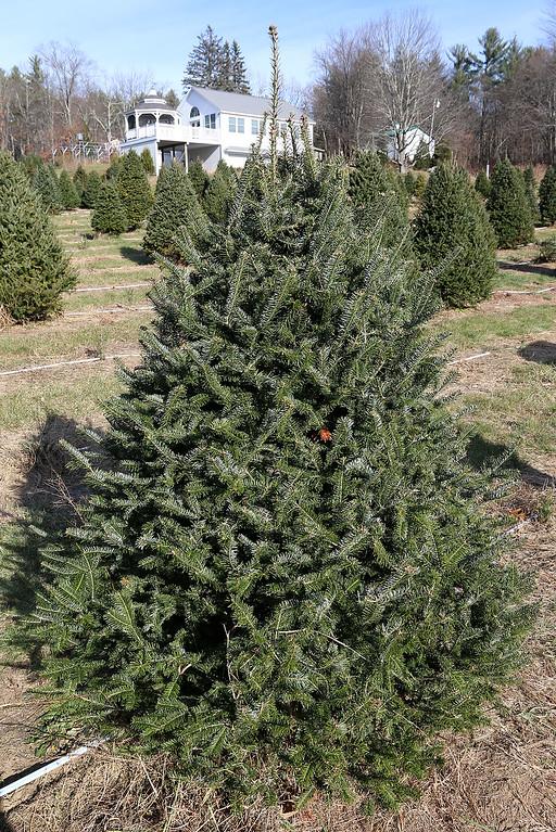 . John Hussey\'s Christmas tree farm in Townsend sells the Fraser Christmas tree. SUN/JOHN LOVE