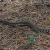 Rattle snake 8-27-17_MG_3381