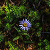 Purple daisy 8-31-17_MG_3673