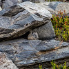 Pika near Emerald Lake 9-3-17_MG_4015