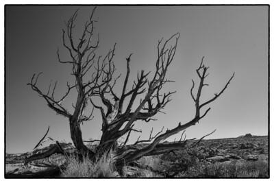 Utah Tree 1