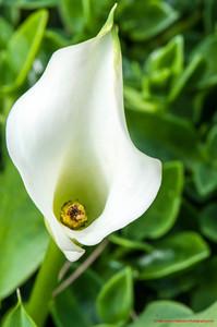 White Calais Lily