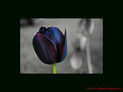 Indigo Tulip 1