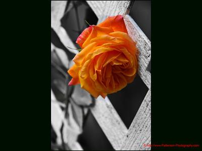 Climbing Rose 1