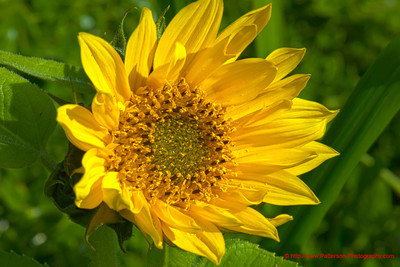 Sunflower 3