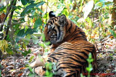 Reclining Tiger 1