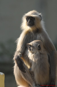 India Monkies 1