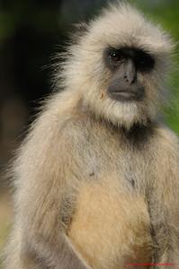 India Monkey 3