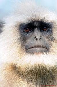 India Monkey 2