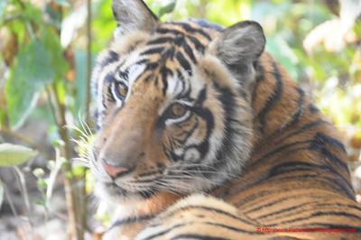 Reclining Tiger 2