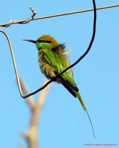 India Green Bee Eater