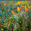 California Poppy Reserve - 2