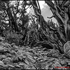 Bristlecone Forest - 1