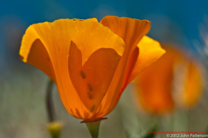 California Poppy Reserve - 1