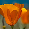 California Poppy Reserve - 1