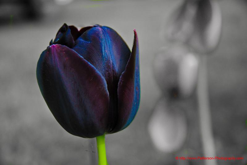 Tulip - 1