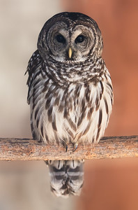 owl_after