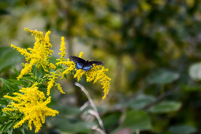 Red-spotted Purple Admiral Butterfly