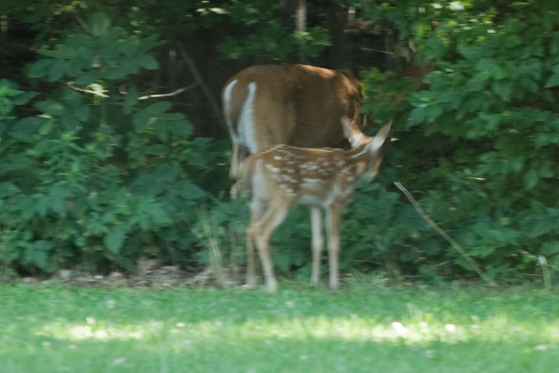 The first deer we have seen at this house. So far we have had lots of birds, mice, skunks, coyote, dogs, and bugs bugs bugs.