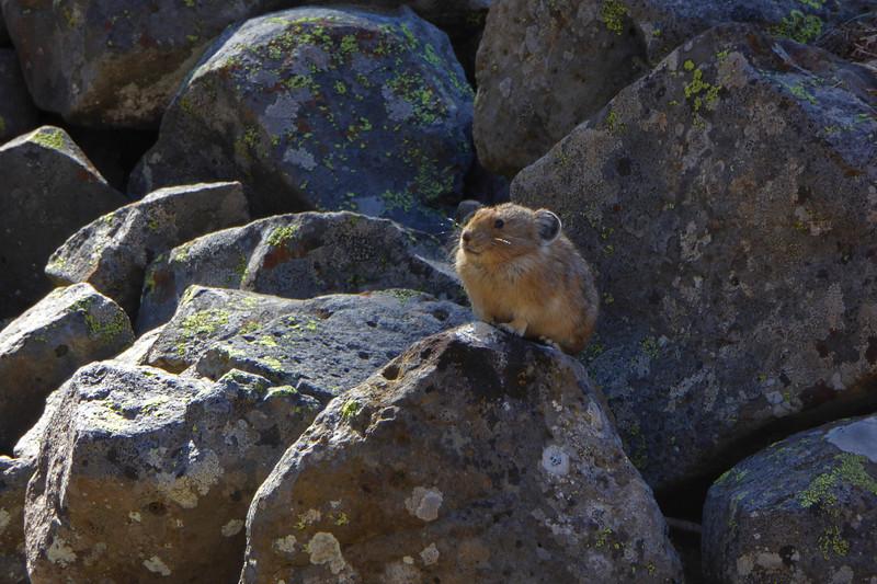 Pika on the Rocks