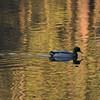 Mallard Ducks, Cannon Hill Park Pond