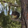 Squirrel Dining