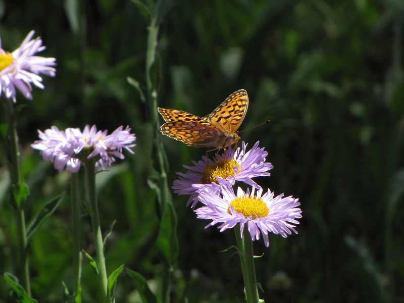 Butterfly Meadow