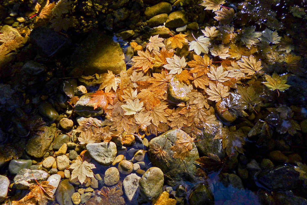 Maple Leaves in Tired Creek