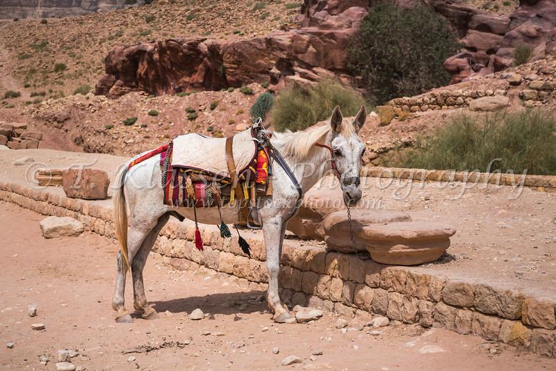 Donkey transportation available in Petra, Hashemite Kingdom of Jordan.