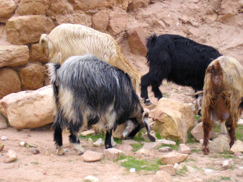 Multi-colored Goats