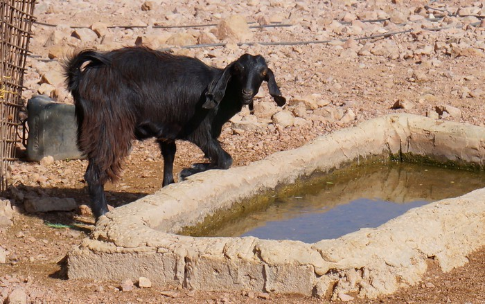 Goat at the watering hole.
