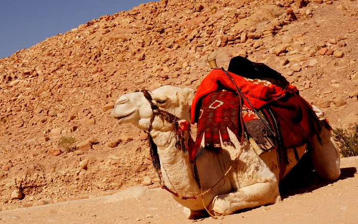 A camel taking a nap in Petra.