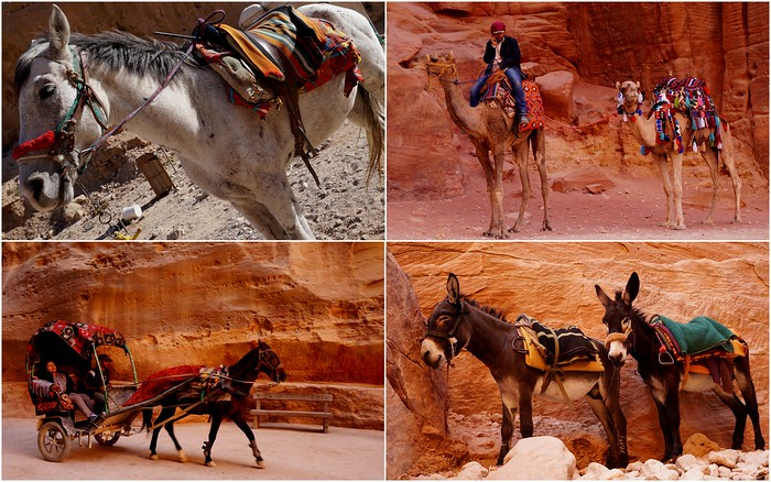Camels, horses and donkeys. Various forms of transportation in Petra.