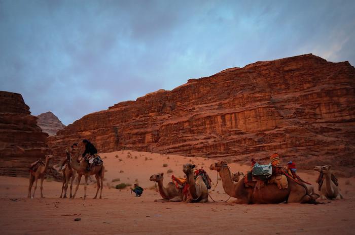 A herd of camels in Wadi Rum, Jordan at sunrise.