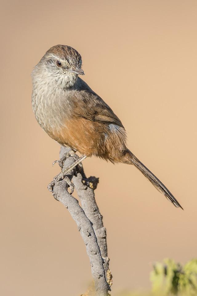 Dusky tailed Canastero, La Campana National Park.