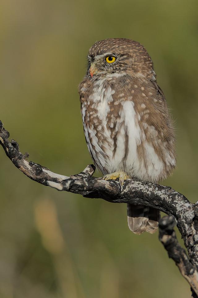 Austral Pygmy Owl, Torres del Paine. Marzo 2017