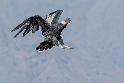 Condor, Farellones
