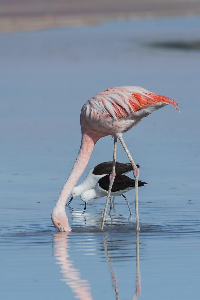 Chilean Flamingo, Andean Avocet, Salar Chaxa, Atacama.