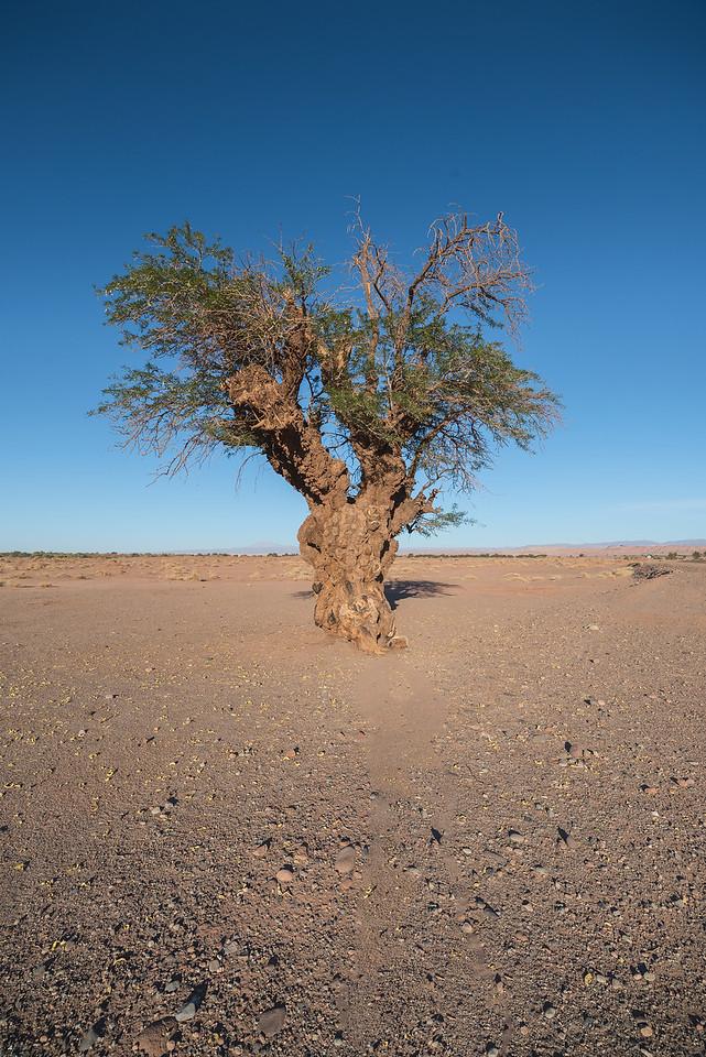 Old Tamarugo tree, San Pedro de Atacama.