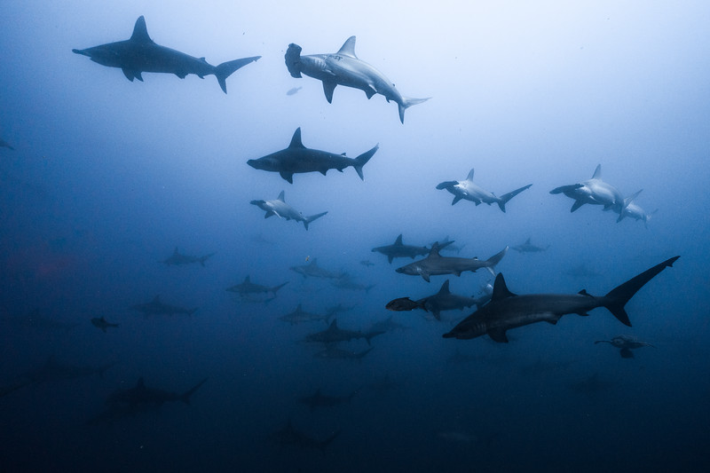 Many scalloped hammerheads, Sphyrna lewini, swim in the waters of the Pacific Ocean.