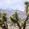Flowering Joshua Trees with Snow Mountains