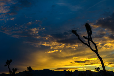 Joshua Trees after sunset.